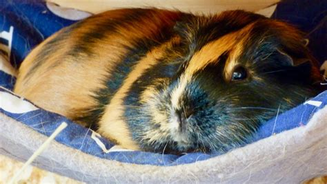 Top Guinea Pig Products - YouTube