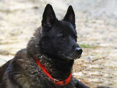 Black Norwegian Elkhound - Information, Characteristics
