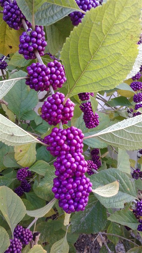 Beautyberry Shrub Info - Tips For Growing American