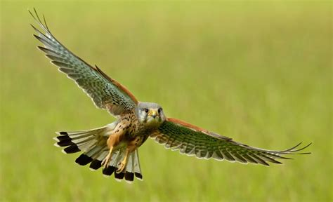 Wildlife of the World: Falcon Birds HD Wallpapers