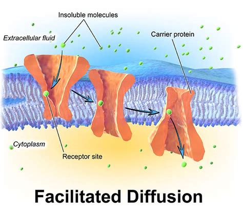 What Is Facilitated Diffusion? | Definition, Importance