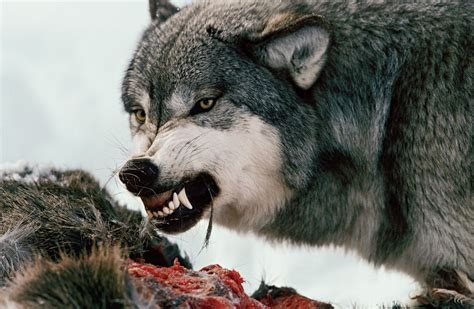 The Law for the Wolves | National Geographic Society