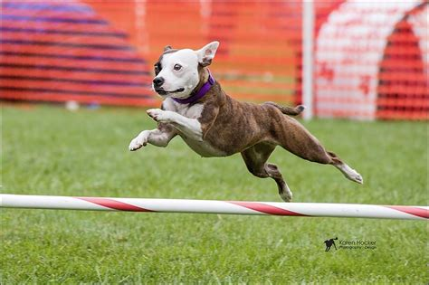 Once-condemned pup shines at Westminster show - Toledo Blade