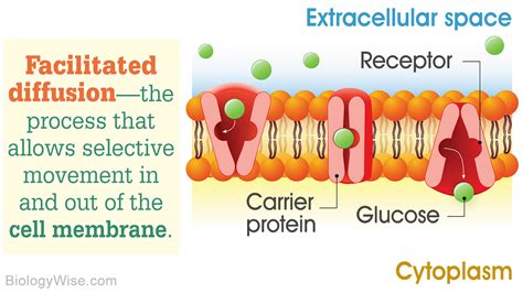 What is Facilitated Diffusion?