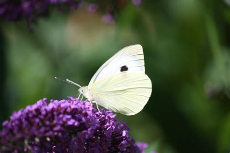 Free Images : animals, moths and butterflies, insect