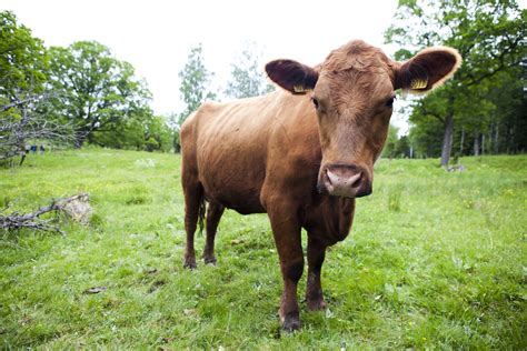 Genetic engineering in large-scale cattle breeding raises