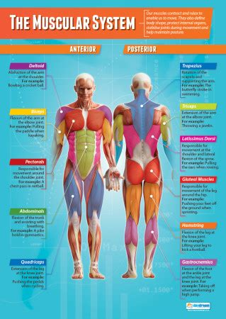 The Muscular System | Physical Education Poster