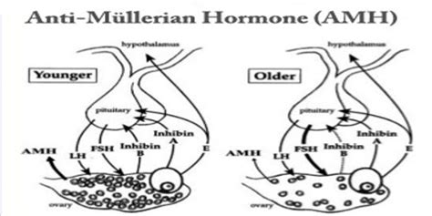 Anti-Müllerian Hormone - Assignment Point