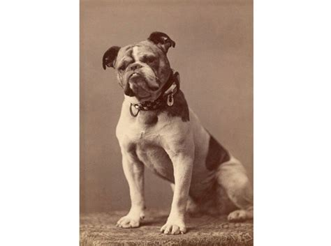 Bulldogs Are Dangerously Unhealthy, But There May Not Be