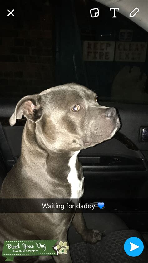 Stud Dog - Blue Staffordshire Bull Terrier - Breed Your Dog