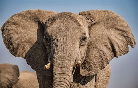 Eavesdropping on elephants in the name of research - Scope